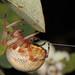 Marbled Orbweaver - Araneus marmoreus, Vaseux Lake, British Columbia