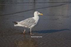 Seagull (yentlcaptures) Tags: seagull seagulls bird birds beach sea ocean walking animal animals paw pawprints summer texel water shadow