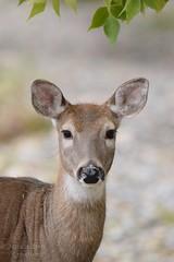 White-tailed Deer - Odocoileus virginianus (jessica.rohrbacher) Tags: virginianus odocoileus cervidae deer whitetailed mammal animal calgary alberta canada fall autumn