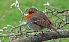 Robin (Cornishcarolin. Stupid busy!! xx) Tags: cornwall httpswwwnationaltrustorguktrelissick nature robin birds 1001nights