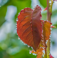Tamron shooting. (Omygodtom) Tags: tamron macro raindrop water bokeh dof flower d7100 perspective outside season autumn fall october nature natural 7dwf smugmug red