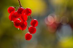 Guelder Rose (Peter Quinn1) Tags: guelderrose berries autumnal autumn blackburnmeadows swt wildlifetrustforsheffieldrotherham rotherham bokeh shrub backlit translucent autumncolours mellowfruitfulness