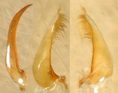Copelatus chloroticus Régimbart, 1899:3. Male, genitalia, median lobe (left), left lateral lobe (center) and right lateral lobe (right), lateral aspects. (Wolfram Sondermann) Tags: colombia putumayo mocoa taxonomy:order=coleoptera adephaga dytiscoidea taxonomy:family=dytiscidae copelatinae taxonomy:binomial=copelatuschloroticus male genitalia