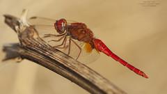 Crocothemis erythraea (Pipa Terrer) Tags: crocothemiserythraea anisoptera odonata libélula libellulidae insecta invertebrados campodecartagena