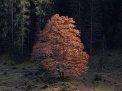 Autumn Beauty (Claude@Munich) Tags: austria tyrol vomp eng tree autumn autumnal fagussylvatica europeanbeech commonbeech sun illuminated dark contrast claudemunich österreich tirol ahornboden engtal rotbuche buche herbstlaub herbst herbstlich kontrast helldunkel