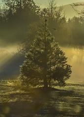 Fog and dew (Jan.Timmons) Tags: sequoiatree fog sequoiaredwood birds birdsinflight earlymorning dew foggyjoy washingtonstate ©howardmarsh redwingedblackbirds