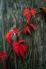 Autumn Vine -0905 (RG Rutkay) Tags: bracebridge wilsonsfalls autumn landscape leaves river trees waterfallls muskoka vine red pole timber
