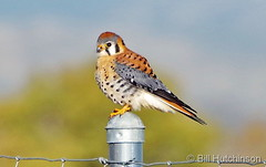 October 16, 2016 - A gorgeous male American Kestrel. (Bill Hutchinson)