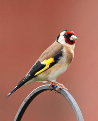 Goldfinch (Bogger3.) Tags: goldfinch mygarden canon7dmk2 tamron150x600lens fullzoom coth coth5