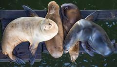 Sea Lion sisters, Santa Cruz, CA (I saw_that) Tags: seals ocean wharf pier relax nature wildlife sea lion uncool cool uncool2 uncool3 uncool4 cool2 cool3 cool4 cool5 cool6 cool7 cool8 cool9 cool10 iceboxcool