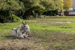 Natural Wildlife (d0mokun) Tags: blackcountry lye animal cute donkey horsething westmidlands stourbridge england unitedkingdom gb