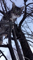 Climbing (TangerinesDreamFinds) Tags: cat kitten tabby tiger pear winter