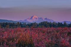 Sunset over blueberry fields and Mnt. Baker (Sigi Deczki) Tags: