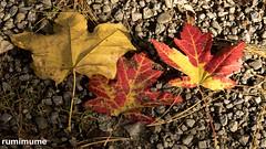 Autumn Leaves (rumimume) Tags: potd rumimume 2017 niagara ontario canada photo canon 80d sigma fall autumn outdoor leaf colour day red 2018