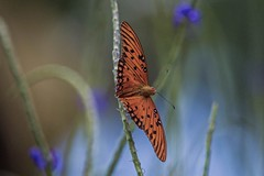 Into The Wild Blue Yonder (ACEZandEIGHTZ) Tags: flying nikon d3200 gulf fritillary agraulis vanillae nature orange bokeh closeup butterfly fantasticnature coth alittlebeauty coth5 sunrays5 naturethroughthelens