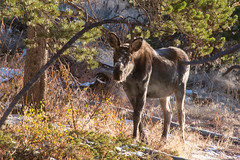 Frosty Calf (RkyMtnGrl) Tags: moose calf wildlife meadow nature fall autumn frost morning light colorado 2018 nikon 28300mm