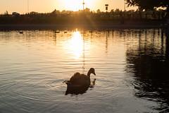 Golden hour (Spannarama) Tags: goldenhour sunlight sunshine golden heath blackheath london uk evening twilight eveninglight goose canadagoose
