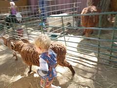 Following a sheep (quinn.anya) Tags: paul toddler sheep renfaire renaissancefaire norcalrenfaire northerncaliforniarenaissancefaire