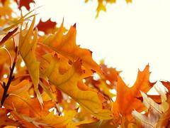 Flickr Friday Orange (mrsparr) Tags: humberbayparkeast toronto ontario canada tree leaves flickrfriday orange sky bokeh theflickrlounge weeklytheme weeklythemechallenge