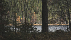 In foreground (hasor) Tags: foreground tree trees spruce fall autumn lake water nature sweden värmland sun
