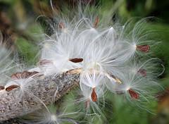 Milkweed (Doris Burfind) Tags: milkweed fall autumn seeds burst pod nature outdoor