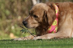 So This Is Fall? (Diane Marshman) Tags: thedude the dude golden retriever goldenretriever large dog breed pet companion animal fall oak leaf stick branch grass outdoors bandana nature