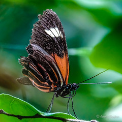 Butterfly4 (JKmedia) Tags: macro sonyrx10iii butterfly chesterzoo closeup boultonphotography 2018 insect