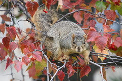 140/365/3792 (October 29, 2018) - Squirrels in Ann Arbor at the University of Michigan - October 29th, 2018 (cseeman) Tags: gobluesquirrels squirrels annarbor michigan animal campus universityofmichigan umsquirrels10292018 fall autumn eating peanut acorns octoberumsquirrel 2018project365coreys yearelevenproject365coreys project365 p365cs102018 356project2018 foxsquirrels easternfoxsquirrels michiganfoxsquirrels universityofmichiganfoxsquirrels