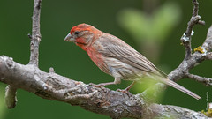 House Finch (Carpodacus mexicanus) (Tony Varela Photography) Tags: finch hofi haemorhousmexicanus housefinch photographertonyvarela canon