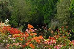 Path by the River Avon - Christchurch New Zealand (Maureen Pierre) Tags: azalea path river avon spring flowers millbrook reserve xt2 fujifilm