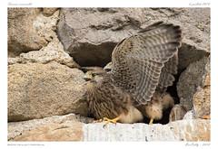 Faucon crécerelle | Common Kestrel (BerColly) Tags: france auvergne puydedome oiseau bird fauconcrécerelle commonkestrel portrait bercolly google flickr