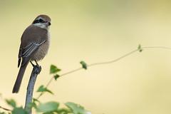 Brown Shrike (MEphotog) Tags: singapore sg brown shrike wild migratory birds bidadari