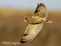 _B3I4371-2 (markandruth.photos) Tags: owl short eared winter bird wildlife photography nature canon canonuk canonphotography cotswolds flight flying feathers prey animal