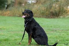 sized_HP20181030-103004 (Hetwie) Tags: rotweiler hond dog nelleke rottweiler