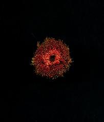 59251.01 Gerbera (horticultural art) Tags: horticulturalart flower mandala circle round disk