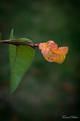 Avant que le vent du nord l'emporte... (Tormod Dalen) Tags: supertakumar50148element garden flower autumn fall autumnleaves vintageglass pentax smc 50mm 1450