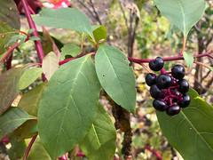 American Pokeweed - Phytolacca americana - Hamilton County, Ohio, USA - November 6, 2018 (mango verde) Tags: americanpokeweed phytolaccaamericana phytolaccaceae phytolacca americana yard hamiltoncounty ohio usa mangoverde