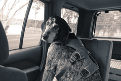38/52 | seat for one (huckleberryblue) Tags: week38 52weeksfordogs coonhound bluetickcoonhound gracie