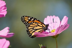 The Monarchs Are Migrating (pam's pics-) Tags: butterfly butterflies monarchbutterfly migration zinnias flowers floral sonya6000 garden nature natural ks washingtonkansas kansas us usa america midwest smalltown pamspics pammorris