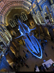 20180103_1 Skeleton of blue whale (Balaenoptera musculus) at the Natural History Museum in London, England (ratexla) Tags: ratexlaslondontripdecember2017 nonhumananimals corpse london 3jan2018 2018 canonpowershotsx50hs england uk theuk greatbritain britain unitedkingdom theunitedkingdom europe earth tellus photophotospicturepicturesimageimagesfotofotonbildbilder europaeuropean travel travelling traveling wanderlust journey vacation holiday semester resaresor city urban storstadssemester town ontheroad nonhumananimal beautiful nature djur animal animals cute cool organism biology zoology corpses death dead deceased död döden lik morbid sad naturalhistorymuseum preserved museum museums bluewhale balaenopteramusculus whale whales skeleton blue hope almostanything unlimitedphotos catchycolorsblue val valar blåval blåvalar skelett ratexla favorite