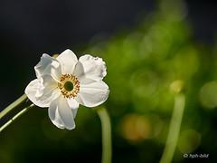 Herbstanemone weiss und grün (Brenda-Gaudi) Tags: herbst botanik pflanzen blumen blüte herbstanemone bokeh germany
