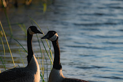 Memories (matthewken4722) Tags: sabbath canon80d wildlife 20170425 geese bayfrontpark outdoors outside villagepointpark sigma150500