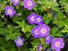 Flowers in October (Shahrazad26) Tags: amsterdam vijzelgracht noordholland nederland holland paysbas thenetherlands flowers bloemen fleurs blumen