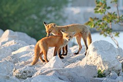 A Mother's Love (marylee.agnew) Tags: red fox vulpes natue kit mother family young baby wildlife beauty love caring outdoor canine