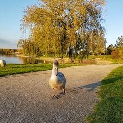 New Friend (Magic M.) Tags: swan schwan lake fühlinger fühlingersee köln cologne natur see autumn herbst