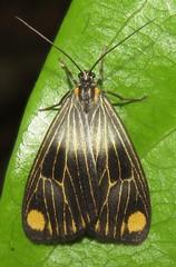 Polypoetes colana (Birdernaturalist) Tags: bolivia dioptinae lepidoptera moth notodontidae richhoyer
