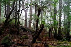 20181015-21-Three Capes Track day 4 - Mist in cloud forest on Mt Fortescue (Roger T Wong) Tags: 2018 australia mtfortescue np nationalpark rogertwong sel24105g sony24105 sonya7iii sonyalpha7iii sonyfe24105mmf4goss sonyilce7m3 tasmannationalpark tasmanpeninsula tasmania threecapestrack bushwalk cloudforest green hike lichen mist moss outdoors tramp trek walk