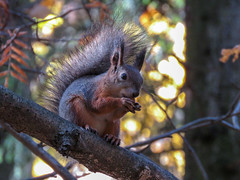 Red and yellow (iolarkov) Tags: animal red squirrel forest tree leaves nature rodent wildlife