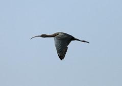 Glossy Ibis  --- Plegadis falcinellus (creaturesnapper) Tags: birds danubedelta europe romania waterbirds ibises waders glossyibis plegadisfalcinellus