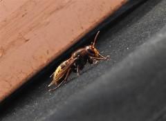 Frelon européen (chriscrst photo66) Tags: insecte animal frelon nikoncoolpixp900